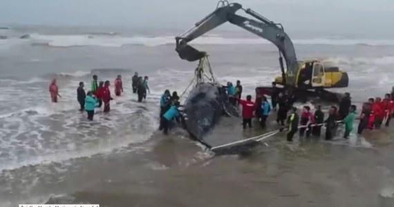 Siedmiotonowy długopłetwowiec oceaniczny ugrzązł na plaży u wybrzeży Argentyny. Jeden z największych ssaków na ziemi z rodziny płetwalowatych został uwolniony po 28 godzinach intensywnej akcji ratowniczej. Zaangażowanych było wiele osób, m.in. z argentyńskiej straży przybrzeżnej oraz z największego oceanarium w Argentynie. By przetransportować zwierzę na głębszą wodę, użyto koparki oraz statku. Dźwig uniósł zwierzę, a łódź za pomocą przywiązanej do długopłetwowca liny odciągnęła go w głąb morza.