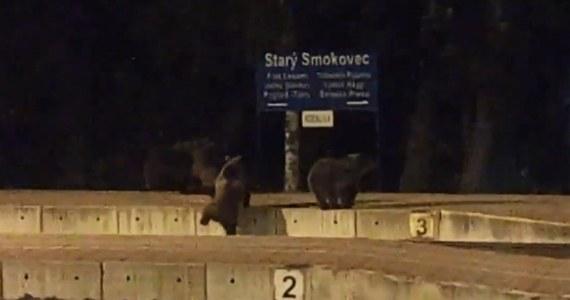 """Jesień to czas, kiedy niedźwiedzie w Tatrach są wyjątkowo aktywne. W poszukiwaniu pokarmu przemieszczają się na duże odległości i nie wahają się zapuszczać do ludzkich osad. Te niedźwiadki najwyraźniej poszukiwały łatwiejszego sposobu na przemieszczanie się i znalazły się na peronie słynnej słowackiej """"elektriczki"""" w Starym Smokowcu."""