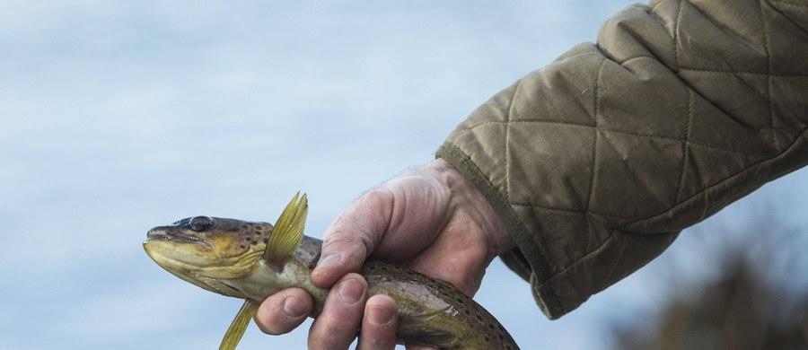 """Popularne także w Polsce wędkowanie w systemie catch & release, czyli złap i wypuść, którego celem jest ochrona ryb, nie do końca spełnia pokładane w nim nadzieje. Opublikowane na łamach czasopisma """"The Journal of Experimental Biology"""" wyniki badań wskazują, że zranienia poważnie utrudniają wypuszczonym rybom odżywianie - nawet jeśli wędkarze stosują bardziej humanitarne, bezzadziorowe haczyki. Naukowcy z międzynarodowego zespołu pod kierunkiem badaczy z University of California w Riverside przekonują, że ryby, które przy odżywianiu wykorzystują różnicę ciśnień do czasu zagojenia rany, radzą sobie znacznie gorzej."""