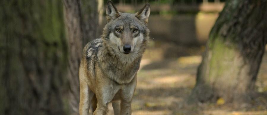Wilki zagryzły cztery owce w okolicach Istebnej w Beskidzie Śląskim. Miejscowy lekarz weterynarii Ryszard Buzek, zaapelował, by gospodarze zamykali na noc swoje zwierzęta w oborach. Leśnicy uspokajają: wilk nie zagraża ludziom; to płochliwy drapieżnik.