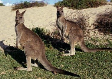 Brutalny atak kangura olbrzymiego. Kobieta musiała przejść operację