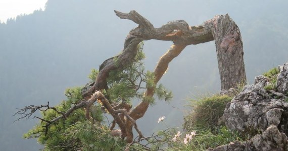 Przyrodnicy podjęli próbę konserwacji złamanego pędu reliktowej sosny ze szczytu Sokolicy w Pieninach. Eksponat przyrodniczy, którego wiek określa się na 500 lat, będzie można podziwiać na wystawie w siedzibie Pienińskiego Parku Narodowego w Krościenku.