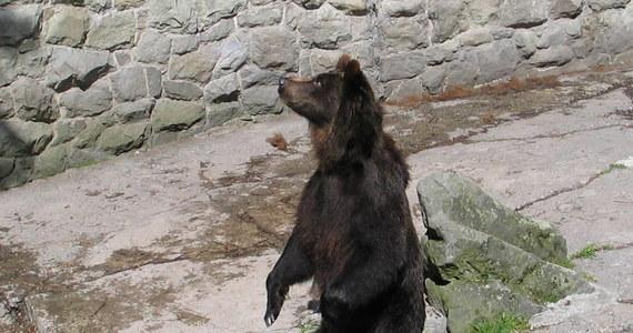 Nasi południowi sąsiedzi mają coraz większe problemy z oswojonymi niedźwiedziami. Potężne drapieżniki zapuszczają się do centrów miast w poszukiwaniu jedzenia. Przykładem jest Tatrzańska Łomnica, gdzie niemal jak na Alasce można codziennie spotkać niedźwiedzia.