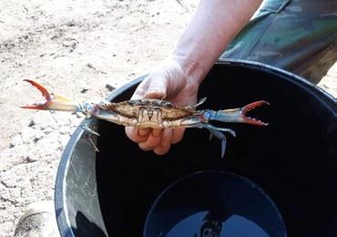 Egzotyczny krab w jeziorze Dąbie. Dostał się tam z wodami balastowymi statku
