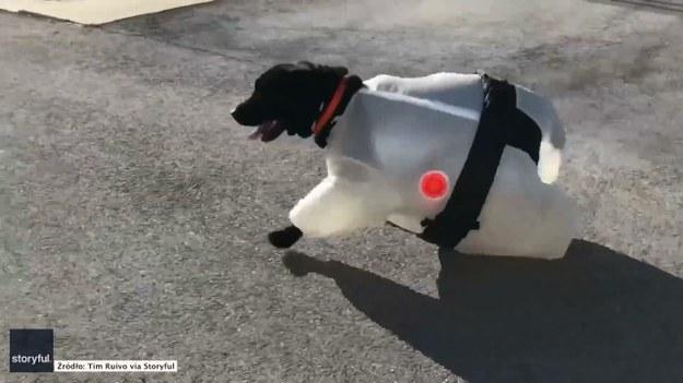 Jeśli nadal szukacie stroju na Halloween dla swojego psa, to może być idealna inspiracja. Przebrany za zawodnika sumo pupil na pewno skradnie serca wszystkich na imprezie. (STORYFUL/x-news)