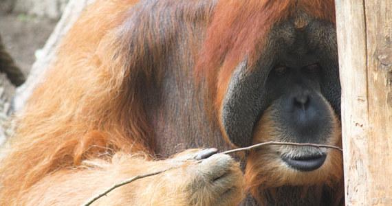 """Orangutany okazują się pod pewnymi względami sprytniejsze od nawet kilkuletnich dzieci. Potrafią być wynalazcami nowych narzędzi, już przy pierwszej próbie zagiąć prosty pręt w formę haka, by wydostać z pionowej rury koszyk z przysmakiem. Piszą o tym na łamach czasopisma """"Scientific Reports"""" austriaccy i brytyjscy naukowcy. Prowadzone przez nich badania pokazały, że orangutany potrafią też wyprostować hak jeśli potrzebują prostego pręta do wypchnięcia przysmaku z wąskiej poziomej rury. Dzieci zaczynają sobie z tym radzić dopiero w wieku około ośmiu lat."""