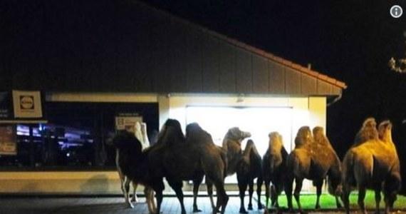 Ten widok zaskoczył wszystkich. Stado wielbłądów wypatrzyli w poniedziałkowy wieczór kierowcy w Bergen w Dolnej Saksonii w Niemczech. Zwierzęta stały na parkingu popularnego dyskontu. Zauważyli je kierowcy jadący pobliską autostradą.
