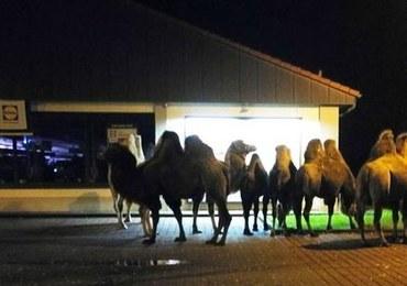 Stado wielbłądów przed sklepem. Promocja?