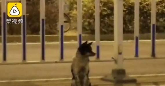 O psie, który tuż przy ruchliwej drodze w mieście Hohhot czeka na swoją panią, rozpisują się media w Chinach. Właścicielka czworonoga zginęła ponad 80 dni temu potrącona na tej trasie przez samochód.