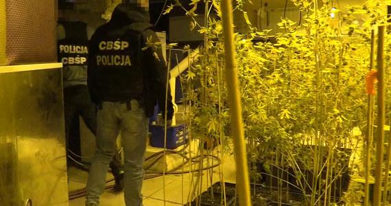 CBŚP rozbiło grupę przestępczą krakowskich pseudokibiców, która na gigantyczną skalę handlowała narkotykami. W ostatnich dniach w ręce policjantów wpadło kilkunastu członków gangu, który wprowadził na rynek środki odurzające warte co najmniej 100 milionów złotych – w tym 5,6 tony marihuany i 122 kg kokainy.