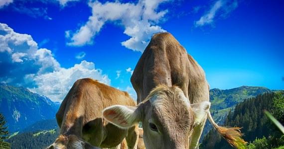 Jedna z trzech kwestii, które rozstrzygnie wyznaczone na najbliższą niedzielę referendum w Szwajcarii, dotyczy obcinania rogów hodowlanym krowom i kozom - a konkretnie tego, czy państwo ma dotować rolników wstrzymujących się od takich praktyk.