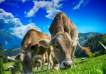 Szwajcarzy w referendum rozstrzygną kwestię obcinania krowom rogów