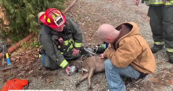 Strażacy uratowali psa z pożaru garażu na przedmieściach Indianapolis w USA. Zwierzęciu podano tlen, aby doszło do siebie. Po akcji ratunkowej widać psa, który stanął już na nogi i radośnie macha ogonem.
