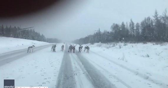 Nietypową przeszkodę na drodze napotkał kanadyjski kierowca. Podczas podróży autostradą transkanadyjską przez Nową Fundlandię natrafił na stado reniferów, które poruszało się po jezdni. Dopiero sygnał klaksonu przepędził zwierzęta na pobocze.