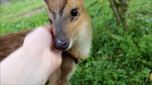 Autorka nagrania opiekuje się sarenką. Urocze zwierzątko uczyło się chodzić na smyczy. Zielona trawa i ręce właścicielki okazały się jednak bardziej pochłaniającym zajęciem niż spacerowanie. (STORYFUL/x-news)