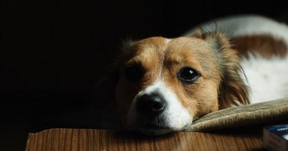 Policja w Busko-Zdroju w woj. świętokrzyskim zatrzymała 39-letnią kobietę, która wyrzuciła z balkonu na 4. piętrze psa. Zwierzę nie przeżyło. Kobieta tłumaczyła się, że pies ją denerwował, bo szczekał.