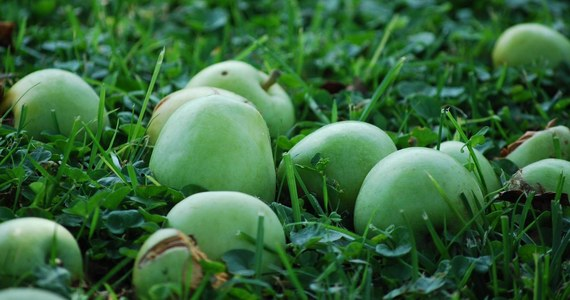 """""""Są duże problemy organizacyjne, firma, którą zatrudnił resort rolnictwa nie sprostała zadaniu"""" – alarmują sadownicy niezadowoleni z interwencyjnego skupu jabłek. Został uruchomiony, bo nadwyżka owoców w tym roku sięgnęła aż pół miliona ton."""