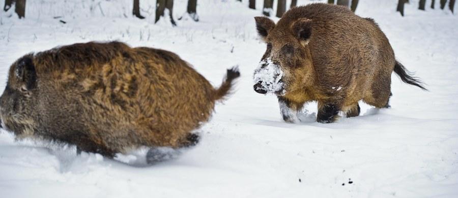 Kilkadziesiąt tysięcy dzików zostanie odstrzelonych w styczniu i lutym w związku z walką z ASF. Zarządzono masowe polowania w 8 województwach, w prawie 320 obwodach łowieckich. Będą się one odbywały w weekendy, zaczynając od 12 stycznia.