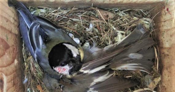 """Zmiany klimatyczne prowadzą na terenie Holandii do prawdziwej wojny ptaków, w której sikory bogatki zabijają w budkach lęgowych muchołówki żałobne. Ginie z tego powodu nawet 10 proc. samców muchołówki. Wszystko przez oceplenie, które sprawia, że okresy lęgowe obu gatunków, wcześniej odrębne, obecnie zaczynają się nakładać. Piszą o tym na łamach czasopisma """"Current Biology"""" ornitolodzy z University of Groningen."""