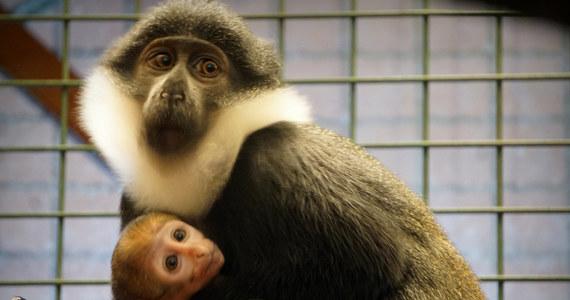 Waży około 300 gramów. Nie ma jeszcze imienia, bo wciąż nie wiadomo, jakiej jest płci. Na wybiegu zoo we Wrocławiu pojawił się urodzony 3 tygodnie temu malutki koczkodan górski. Nowy mieszkaniec wrocławskiego zoo to jedna z najrzadziej spotykanych małp w ogrodach zoologicznych i gatunek zagrożony.