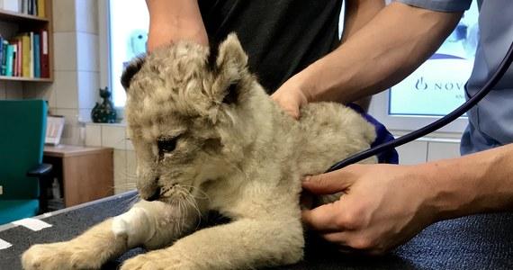 Niecodzienny pacjent na Uniwersytecie Przyrodniczym we Wrocławiu. Na badania trafiło 7-tygodniowe lwiątko. Zwierzak był osowiały i osłabiony. Skorzystał z porady neurologicznej. Kari przyjechała na badania z prywatnego ogrodu zoologicznego koło Kielc.