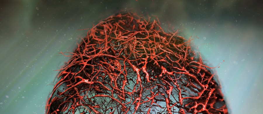 """Naukowcy z Uniwersytetu Kolumbii Brytyjskiej i Instytutu Biotechnologii Molekularnej Austriackiej Akademii Nauk (IMBA) opracowali przełomową metodę tworzenia naczyń krwionośnych w warunkach laboratoryjnych. Jak piszą w najnowszym numerze czasopisma """"Nature"""", trójwymiarowa struktura stworzona z pomocą komórek macierzystych pomoże w badaniach uszkodzeń naczyń związanych z niektórymi chorobami, na przykład cukrzycą."""