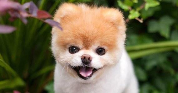 """Nie żyje Boo, popularny zwierzak nazywany """"najsłodszym psem na świecie"""". Właściciele poinformowali, że pieskowi """"pękło serce""""."""