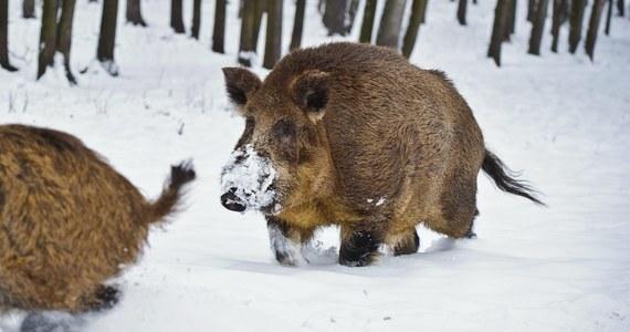 Strażacy z Zawiercia (Śląskie) uratowali w niedzielę po południu dziki, pod którymi załamał się lód. Nietypowe zgłoszenie odebrali od osoby spacerującej nad zalewem we wsi Dzibice.