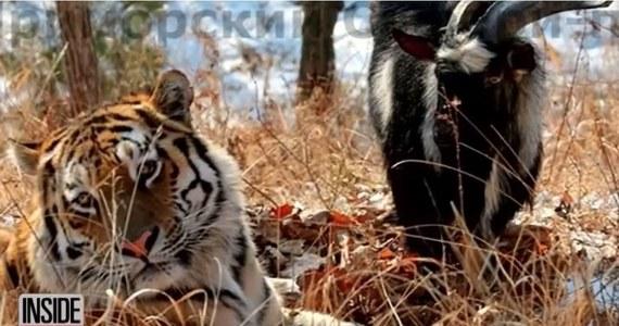 Ta informacja zmroziła mieszkańców i tak ogarniętej zimą wschodniej Rosji. Amur to pierwszy w historii tygrys, który zaprzyjaźnił się z kozłem. Teraz ma zostać sprzedany. Losy tej niezwykłej przyjaźni śledzili w internecie mieszkańcy z ponad setki krajów.