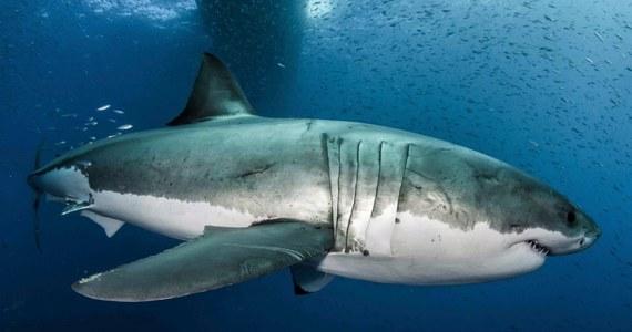 """Międzynarodowy zespół naukowców rozkodował genom żarłacza białego. Praca, opublikowana w najnowszym numerze czasopisma """"Proceedings of the National Academy of Sciences"""", odsłania niektóre z tajemnic tego niezwykłego rekina. Okazuje się, że zwierzę, budzące z jednej strony fascynację, a z drugiej przerażenie, ma w genach niezwykłe zdolności przetrwania, w tym gojenia się ran czy zapobiegania kumulacji niekorzystnych mutacji DNA. Można stwierdzić, że my, ludzie, moglibyśmy się wiele od tej ryby nauczyć."""