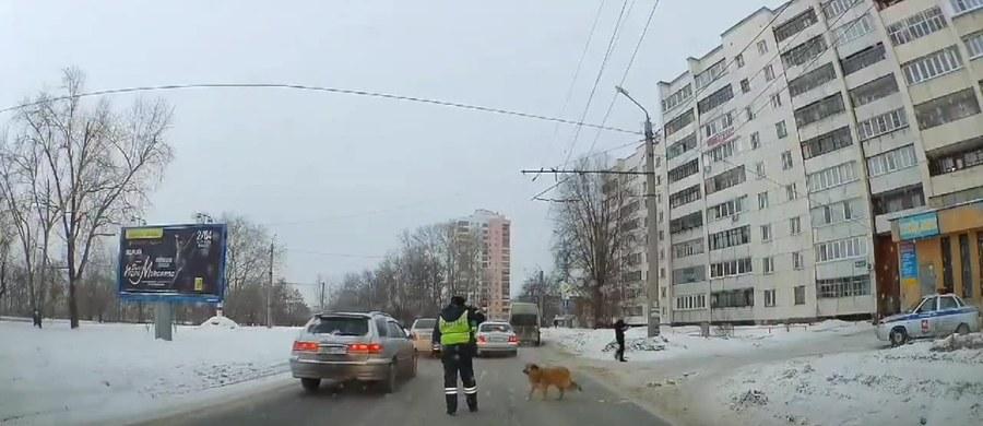 To mógł być bardzo ciężki dzień dla psa w Czelabińsku. Czekał na zimnie, aby móc przejść przez ulicę. Niestety sznur samochodów sunął nieprzerwanie, nie dając szansy na bezpieczne przekroczenie jezdni. Z pomocą przyszedł policjant który zatrzymał ruch i umożliwił psiakowi przedostanie się na drugą stronę. Kiedy zwierzę przeszło przez jezdnię, policjant natychmiast wznowił ruch, sprawiając że nie powstał korek.