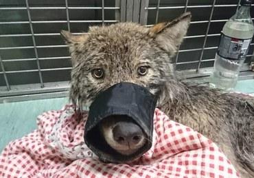 Myśleli, że ratują tonącego psa. Był to… wilk