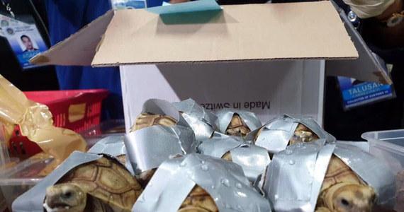 Ponad półtora tysiąca żółwi owiniętych taśmą klejącą znalazła filipińska policja w porzuconych walizkach na lotnisku w Manili. Rynkowa wartość przemycanych zwierząt to prawie 90 tys. dolarów.