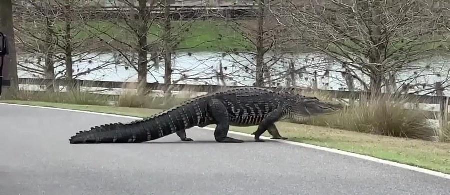 Gigantyczny aligator wyszedł na drogę w okolicach pola golfowego w The Villages na Florydzie. To prawdopodobnie słynny Larry, który zyskał sławę dzięki swoim rozmiarom i częstemu wylegiwaniu się na trawnikach.
