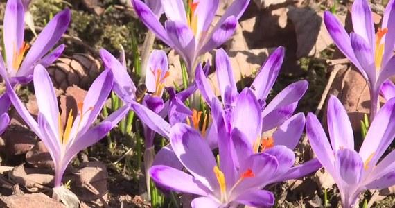 Tatrzański Park Narodowy poszukuje wolontariuszy do pilnowania krokusów. Od kilku lat na początku kwietnia do doliny Chochołowskiej  przyjeżdżają tłumy turystów, którzy chcą na własne oczy zobaczyć fioletowy dywan i trzeba wobec tego pilnować, aby kwiatów... nie rozdeptano.