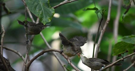 """Brytyjscy i holenderscy naukowcy odkryli, że pomoc w opiece nad potomstwem ma dla samic konkretne i praktyczne znaczenie: dzięki niej starzeją się wolniej i żyją dłużej. Efekt, opisany na łamach czasopisma """"Nature Communications"""" udało się zaobserwować na przykładzie ptaków, konkretnie namorzynków seszelskich. Autorzy pracy są jednak przekonani, że u innych ptaków i zwierząt, a także u człowieka, jest podobnie."""