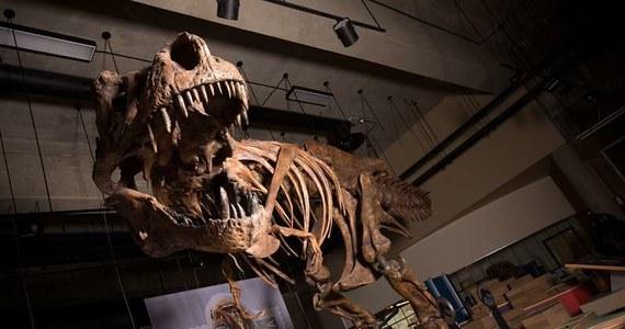"""Prawdziwy park jurajski mógł być jeszcze bardziej przerażający, niż ten filmowy. Wszystko wskazuje bowiem na to, że największy drapieżnik wszystkich czasów bywał... jeszcze większy i masywniejszy, niż myśleliśmy. Piszą o tym na łamach czasopisma """"The Anatomical Record"""" paleontolodzy z University of Alberta w Kanadzie. Zbadane przez nich fragmenty szkieletu Tyranozaura nazwanego """"Scotty"""" wskazują, że wśród dotąd nam znanych osobników tego gatunku, nie miał sobie równych."""
