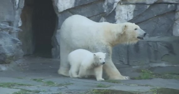 Hertha – tak brzmi imię, które berliński ogród zoologiczny nadał czteromiesięcznemu niedźwiedziowi polarnemu. Nowa gwiazda zoo przyszła na świat 4 grudnia. Imię dla niedźwiedzicy pochodzi od nazwy stołecznego klubu piłkarskiego Hertha BSC, który adoptował zwierzę.