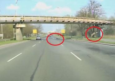 Wrocław: Rozpędzony jeleń wskoczył na jezdnię wprost w motocyklistę