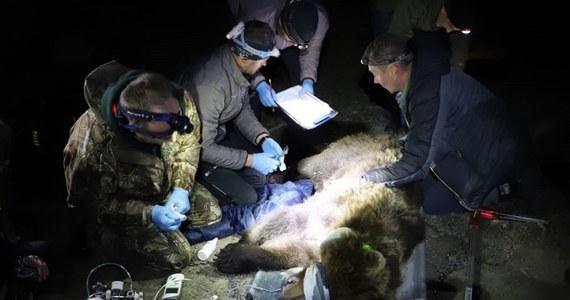 """Specjaliści z Tatrzańskiego Parku Narodowego pomogli czeskim przyrodnikom odłowić tak zwanego """"problemowego"""" niedźwiedzia. Niedźwiedzica w poszukiwaniu pożywienia odwiedzała miejscowości w czeskich Beskidach i zagrażała ich mieszkańcom."""