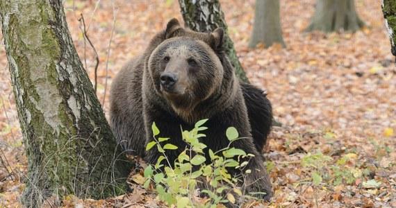 Groźna sytuacja w Bieszczadach. Niedźwiedź zaatakował mężczyznę spacerującego po lesie - informuje portal nowiny24.pl.
