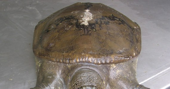Jedyna na świecie samica rzadkiego żółwiaka szanghajskiego zmarła w zoo w Suzhou, na wschodzie Chin - podała w poniedziałek agencja AP. Tym samym pozostały prawdopodobnie ostatnie trzy okazy tego gatunku. Nie wiadomo jednak, czy wśród nich jest samica.