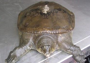 Zmarła ostatnia samica żółwiaka szanghajskiego