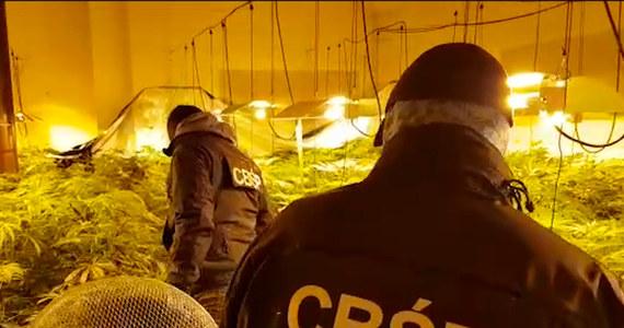 Można było z niej uzyskać nawet 800 kilogramów marihuany – mowa o plantacji, którą zlikwidowali policjanci CBŚP oraz Morskiego Oddziału Straży Granicznej w Gdańsku. Zarzuty usłyszał Radosław L., który miał stworzyć uprawę.