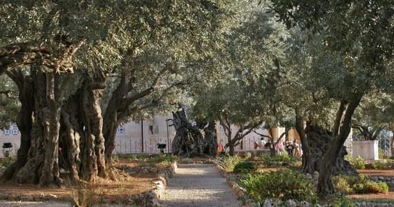W Wielki Piątek w RMF FM i na RMF24.pl zabieramy Was w niezwykłą podróż ulicami Jerozolimy – świętego miasta chrześcijaństwa, w którym Jezus Chrystus odbył swoją ostatnią drogę ku ukrzyżowaniu, śmierci i zmartwychwstaniu. Ta droga zaczęła się w Ogrodzie Oliwnym – byliśmy tam z kamerą i mikrofonem, by sprawdzić, jak to miejsce wygląda dziś.
