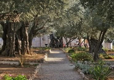 Jerozolima śladami Chrystusa – Ogród Oliwny [WIDEO]