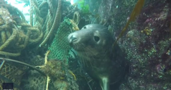 Płetwonurek Ben Burville uwiecznił walkę foki o uwolnienie się z resztek sieci rybackiej u wybrzeża Anglii. Zwierzę uwięzło w linach, jednak udało mu się wyplątać i bezpiecznie odpłynąć.
