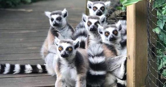 Norweska policja wydała komunikat o poszukiwaniu pięciu zbiegów. To lemury, które zniknęły z niewielkiego zoo Den lille dyrehage w miejscowości Aust-Agder.