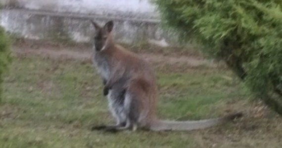 Zakończyły się poszukiwania małego kangura, który kilka dni temu uciekł z działki w Czarnieckiej Górze w Świętokrzyskiem. Jak podaje portal Konecki24, zwierzę zostało śmiertelnie potrącone przez samochód.