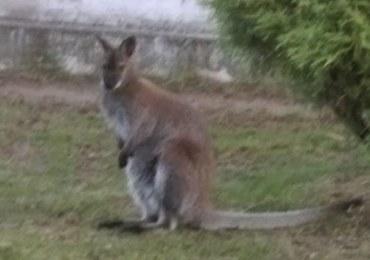 Świętokrzyskie: Smutny koniec poszukiwań małego kangura